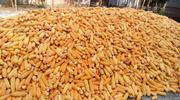Yellow Harvested Dried Maize   Feeds, Supplements & Seeds for sale in Osun State, Ede