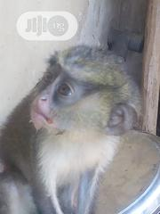 Monkey In Good Health,Very Active And Funny No Dull Moment | Other Animals for sale in Osun State, Osogbo