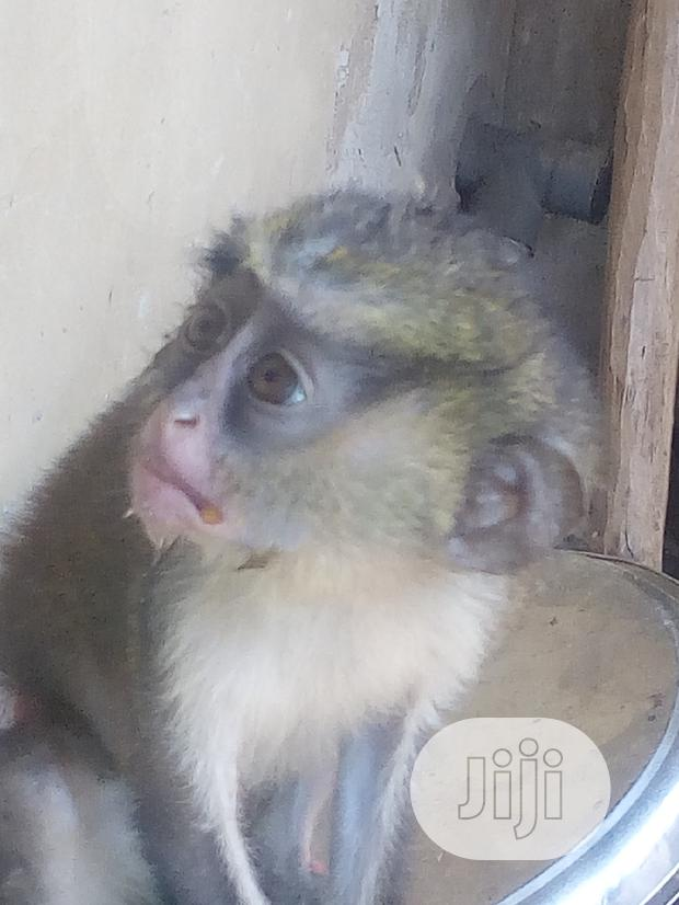 Archive: Monkey In Good Health,Very Active And Funny No Dull Moment