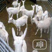 White Goat Foreigner Goats For Rearing | Livestock & Poultry for sale in Benue State, Logo