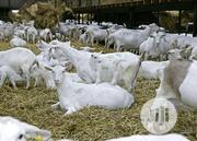 Foreign Whites Goats | Livestock & Poultry for sale in Benue State, Logo