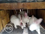Hyla Rabbits | Livestock & Poultry for sale in Ogun State, Odeda