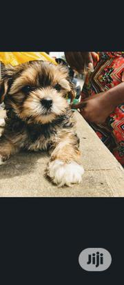 Baby Female Purebred Lhasa Apso | Dogs & Puppies for sale in Lagos State, Kosofe