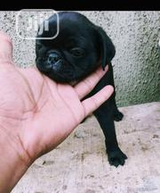 Baby Male Purebred Pug | Dogs & Puppies for sale in Lagos State, Oshodi-Isolo