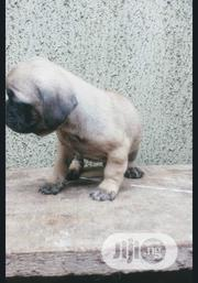 Baby Female Purebred Pug | Dogs & Puppies for sale in Lagos State, Surulere
