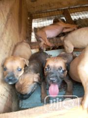 Baby Male Purebred Boerboel | Dogs & Puppies for sale in Ogun State, Sagamu