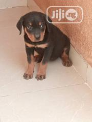 Baby Male Purebred Rottweiler | Dogs & Puppies for sale in Ogun State, Sagamu