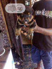 Baby Male Purebred Rottweiler | Dogs & Puppies for sale in Osun State, Ilesa