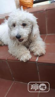 Young Male Purebred Poodle | Dogs & Puppies for sale in Abuja (FCT) State, Maitama