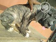 Baby Female Purebred Cane Corso | Dogs & Puppies for sale in Edo State, Benin City