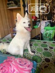 Young Female Purebred American Eskimo Dog | Dogs & Puppies for sale in Osun State, Osogbo