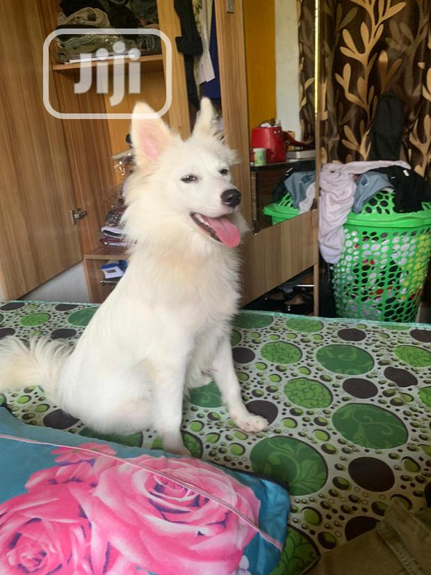 Archive: Young Female Purebred American Eskimo Dog
