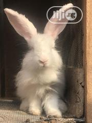Healthy Matured Angora And Hyla Rabbits For Sale | Livestock & Poultry for sale in Lagos State, Ajah
