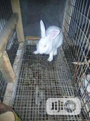 Male & Female Rabbits For Sale   Other Animals for sale in Oyo State, Ibadan North East
