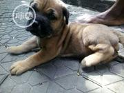 Baby Female Purebred Boerboel | Dogs & Puppies for sale in Rivers State, Eleme