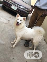 Adult Male Purebred American Eskimo Dog | Dogs & Puppies for sale in Lagos State, Lagos Mainland