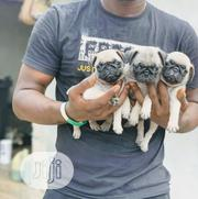 Baby Male Purebred Pug | Dogs & Puppies for sale in Lagos State, Ikeja