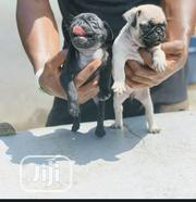 Baby Male Purebred Pug | Dogs & Puppies for sale in Lagos State, Ilupeju