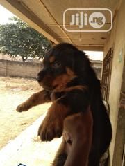 Baby Male Purebred Rottweiler | Dogs & Puppies for sale in Oyo State, Oyo