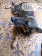Adult Female Mixed Breed German Shepherd Dog | Dogs & Puppies for sale in Edo State, Okada
