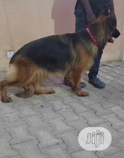 Young Male Purebred German Shepherd Dog   Dogs & Puppies for sale in Lagos State, Lekki Phase 1