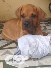 Baby Female Purebred Boerboel   Dogs & Puppies for sale in Plateau State, Jos
