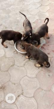 Baby Male Purebred German Shepherd Dog | Dogs & Puppies for sale in Rivers State, Port-Harcourt