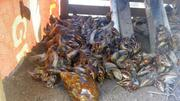 Snails For Sale   Other Animals for sale in Ogun State, Ijebu