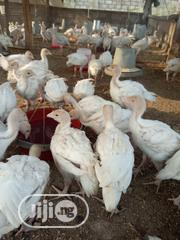 4 Weeks FOREIGN/IMPORTED TURKEY | Other Animals for sale in Ogun State, Odeda
