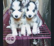 Baby Male Purebred Siberian Husky | Dogs & Puppies for sale in Lagos State, Ipaja