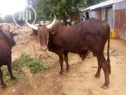 Buy Sokoto Brown Cow | Livestock & Poultry for sale in Benue State, Logo