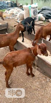 Healthy Welathy Goats | Livestock & Poultry for sale in Benue State, Logo