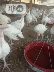 28 Days-old IMPORTED/FOREIGN TURKEYS | Livestock & Poultry for sale in Ogun State, Odeda