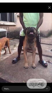 Adult Male Purebred Boerboel | Dogs & Puppies for sale in Edo State, Ikpoba-Okha