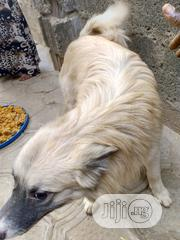 Adult Male Mixed Breed American Eskimo Dog | Dogs & Puppies for sale in Abuja (FCT) State, Gudu