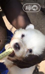 Baby Male Purebred American Eskimo Dog | Dogs & Puppies for sale in Ogun State, Ado-Odo/Ota