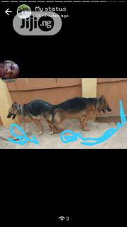 Young Male Purebred German Shepherd Dog | Dogs & Puppies for sale in Oyo State, Ibadan South East