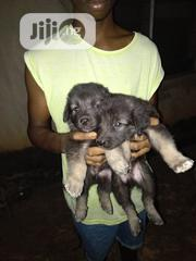 Young Male Purebred German Shepherd Dog | Dogs & Puppies for sale in Oyo State, Akinyele