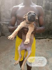 Baby Female Purebred Boerboel | Dogs & Puppies for sale in Lagos State, Ikotun/Igando