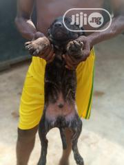 Baby Male Purebred American Pit Bull Terrier | Dogs & Puppies for sale in Lagos State, Ikotun/Igando
