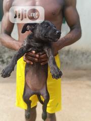 Baby Female Purebred American Pit Bull Terrier | Dogs & Puppies for sale in Lagos State, Ikotun/Igando