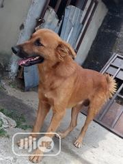 Adult Male Mixed Breed German Shepherd Dog | Dogs & Puppies for sale in Rivers State, Port-Harcourt