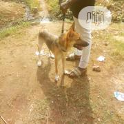 Adult Female Purebred German Shepherd Dog | Dogs & Puppies for sale in Osun State, Osogbo
