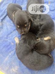 Baby Male Mixed Breed Rottweiler | Dogs & Puppies for sale in Abuja (FCT) State, Gwagwalada