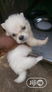 Baby Male Mixed Breed Lhasa Apso | Dogs & Puppies for sale in Ogun State, Ado-Odo/Ota