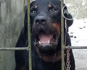 Adult Male Purebred Rottweiler | Dogs & Puppies for sale in Lagos State, Ikotun/Igando