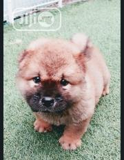 Baby Female Purebred Chow Chow | Dogs & Puppies for sale in Lagos State, Ipaja