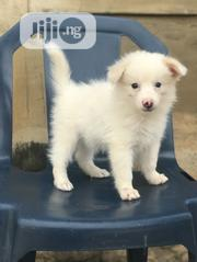 Baby Male Purebred American Eskimo Dog | Dogs & Puppies for sale in Oyo State, Ido