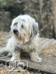 Adult Female Purebred Lhasa Apso | Dogs & Puppies for sale in Oyo State, Ido