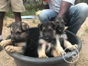 Baby Female Purebred German Shepherd Dog | Dogs & Puppies for sale in Oyo State, Ido